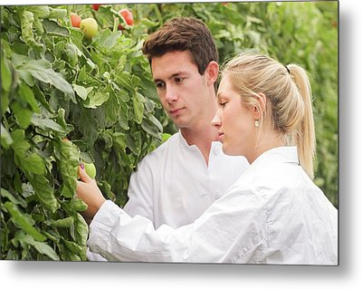Scientists Examining Tomatoes Metal Print