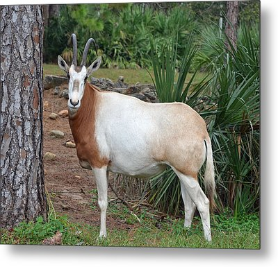 Scimitar Horned Oryx Metal Print by Richard Bryce and Family