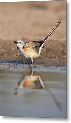 Scissor-tailed Flycatcher (tyrannus Metal Print