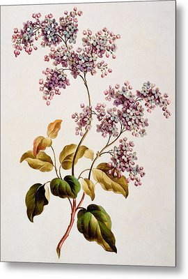 Scotch Lilac, Published 1793 Metal Print