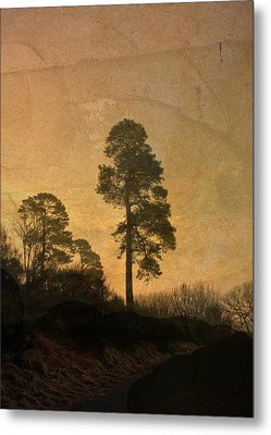 Scots Pine Metal Print by Liz  Alderdice