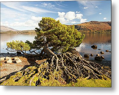 Scots Pine On Lake Shore Metal Print by Ashley Cooper