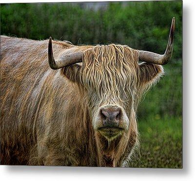 Scottish Highland Cattle Metal Print