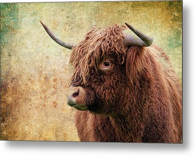 Scottish Highland Steer Metal Print
