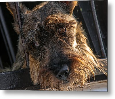 Scottish Terrier Closeup Metal Print by Jess Kraft