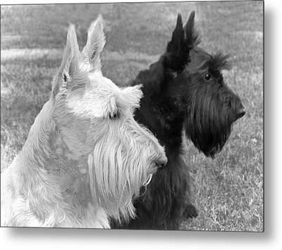 Scottish Terrier Dogs Black And White Metal Print by Jennie Marie Schell