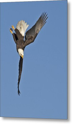Screaming Steep Dive Metal Print by Tim Grams