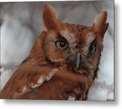 Metal Print featuring the photograph Screech Owl by Constantine Gregory