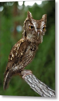 Screech Owl. Seminole County. Metal Print by Chris  Kusik