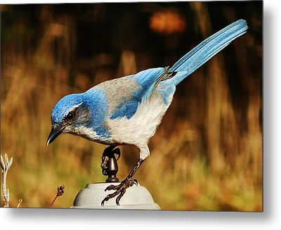 Metal Print featuring the photograph Scrub Jay by VLee Watson