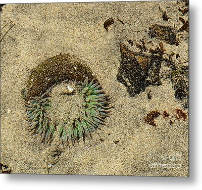 Sea Anenome Half Buried In The Sand Metal Print by Artist and Photographer Laura Wrede
