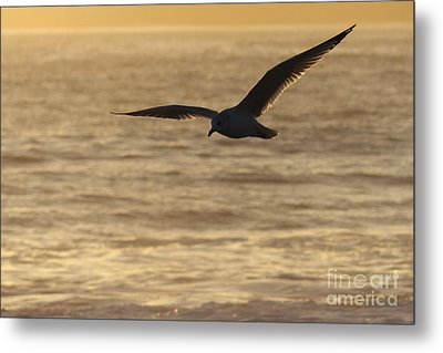 Sea Bird In Flight Metal Print by Paul Topp