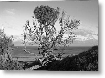 Sea Cliff Tree Metal Print by Amanda Holmes Tzafrir