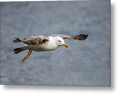 Sea Gull Metal Print by Charlie Photographer