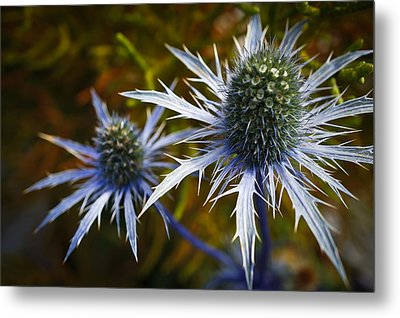 Sea Holly Blue Metal Print by Ronda Broatch