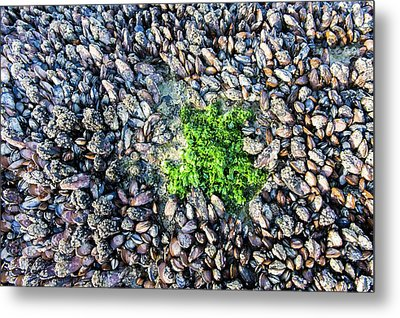 Sea Lettuce And Mussels Metal Print