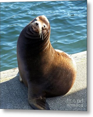 Metal Print featuring the photograph Sea Lion Basking In The Sun by Chalet Roome-Rigdon