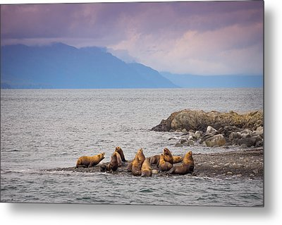 Metal Print featuring the photograph Sea Lion Bulls by Janis Knight