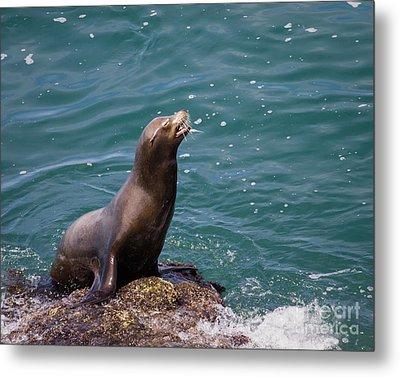 Sea Lion Posing Metal Print by Dale Nelson