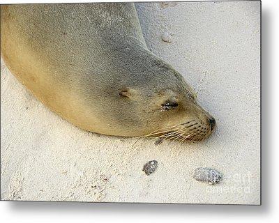 Sea Lion Sleeping On Beach Metal Print by Sami Sarkis