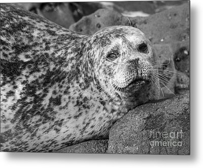 Sea Lion Stare In Monochrome Metal Print by Darleen Stry