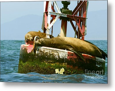 Sea Lions Floating On A Buoy In The Pacific Ocean In Dana Point Harbor Metal Print by Artist and Photographer Laura Wrede
