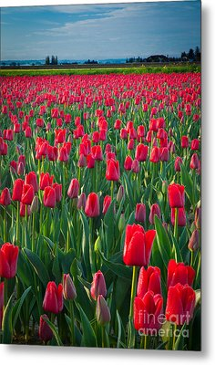 Sea Of Red Tulips Metal Print by Inge Johnsson