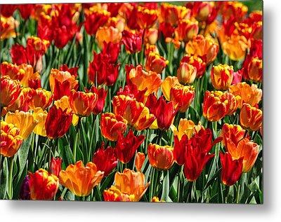 Sea Of Tulips II Metal Print by Dick Wood