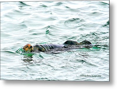 Sea Otter In Northern Cali Metal Print by Rebecca Adams