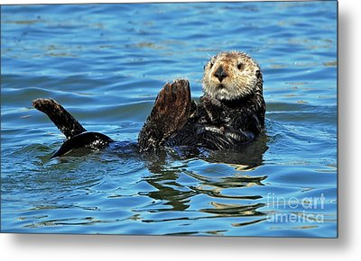 Metal Print featuring the photograph Sea Otter Primping by Susan Wiedmann