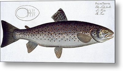 Sea Trout Metal Print by Andreas Ludwig Kruger