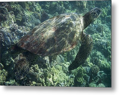 Metal Print featuring the photograph Sea Turtle Surfacing by Don McGillis
