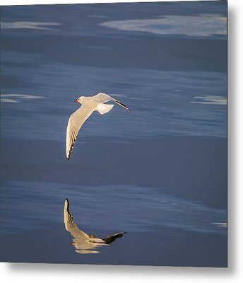 Seagull Flying Low Over Reykjavik Metal Print by Panoramic Images