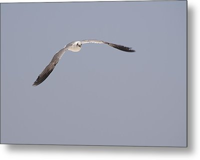 Metal Print featuring the photograph Seagull In Flight Against A Blue Sky by Charles Beeler