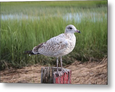 Metal Print featuring the photograph Seagull by Karen Silvestri