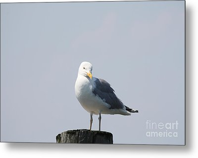 Seagull Looking For Some Food Metal Print by John Telfer
