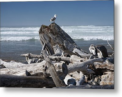 Seagull On Oregon Coast Metal Print by Peter French