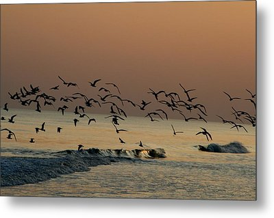 Seagulls Feeding At Dusk Metal Print by Beth Andersen
