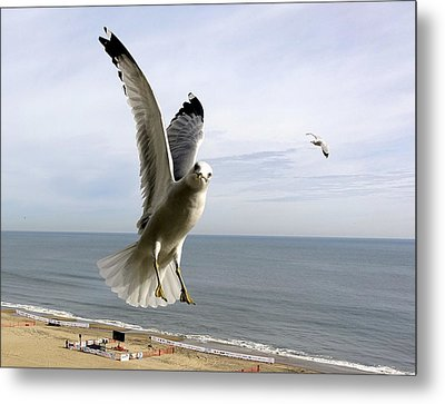 Inquisitive Seagull Metal Print