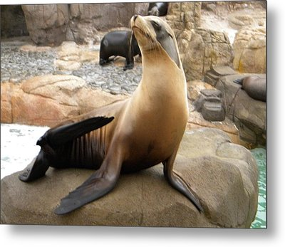 Metal Print featuring the photograph Seal In The Spotlight by Amanda Eberly-Kudamik