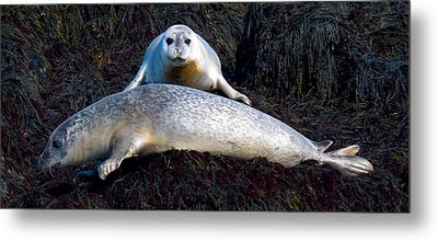 Seal Massage 5662 Metal Print by Brent L Ander
