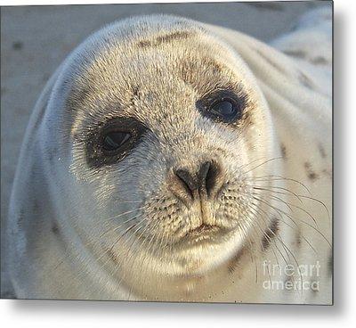 Seal Pup Metal Print