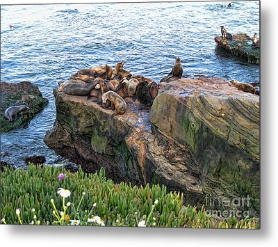 Seals And Pups Metal Print by Bedros Awak