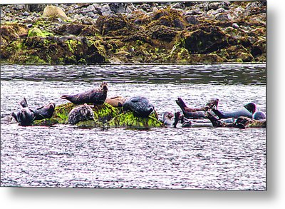 Seals Resting Metal Print by Robert Bales