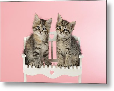 Seated Twin Tabbies Metal Print