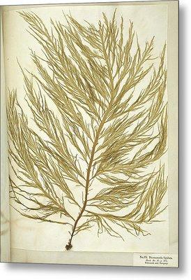 Seaweed (desmarestia Ligulata) Metal Print by Science Photo Library