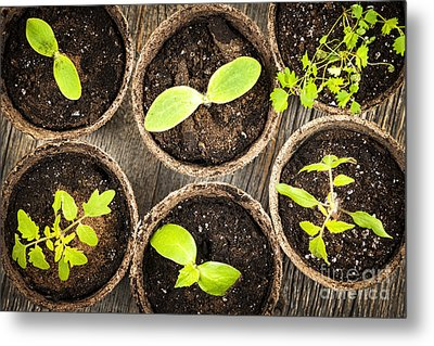 Seedlings Growing In Peat Moss Pots Metal Print by Elena Elisseeva
