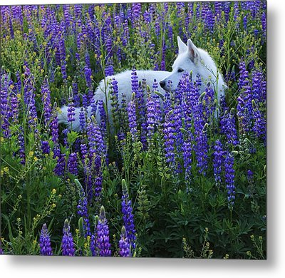 Metal Print featuring the photograph Sekani In Lupine by Sean Sarsfield