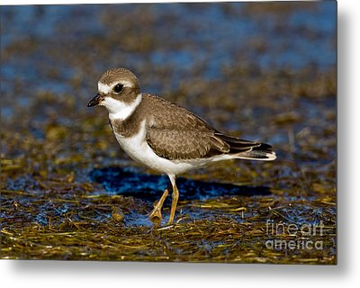 Semipalmated Plover Metal Print by Anthony Mercieca