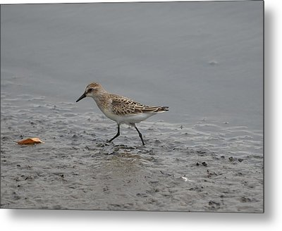 Metal Print featuring the photograph Semipalmated Sandpiper by James Petersen